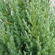 juniper tree trees trees bushes the home depot
