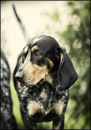 bluetick coonhound in florida i found abner on winter park sweet and li u0027l abner