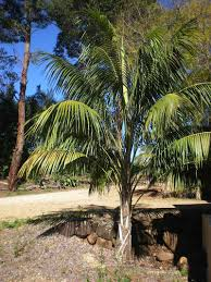 south australian native plants the perfect palm for the south australian climate palms online