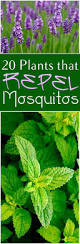 Backyard Fly Repellent 11 Plants That Repel Flies Repel Flies Plants And Fly Traps