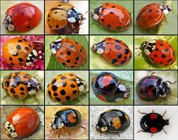 Ladybug Resume 14 Darling Facts About Ladybugs Mental Floss