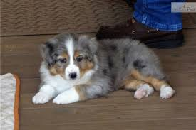 australian shepherd puppies los angeles puppies for sale from keith u0026mary gunderson raussies member since