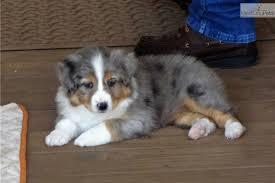 australian shepherd breeders los angeles puppies for sale from keith u0026mary gunderson raussies member since