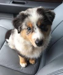 australian shepherd not eating 17 reasons australian shepherds are the worst possible breed of
