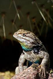 74 best arizona reptiles images on pinterest reptiles lizards