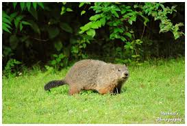 Tennessee wild animals images A tennessee groundhog by theman268 jpg