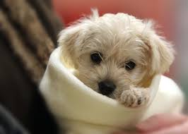 baby schnoodle puppies pinterest dog animal and fur babies
