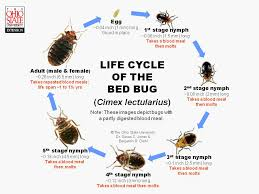 What Does Bed Bugs Eggs Look Like About Bed Bugs U2013 Cobbtf