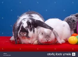 stuffed easter eggs stock photo mini lop and lop bunnies with plastic easter