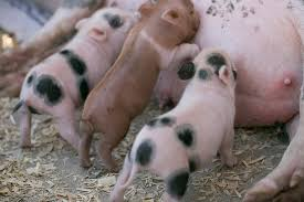 the care of orphaned or underage piglets mini pig info