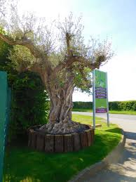 olive grove oundle olive tree mediterranean plant specialists