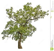 green old oak tree isolated on white stock images image 36250074