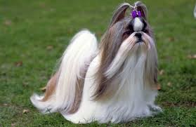 pictures of shih tzu haircuts 7 popular shih tzu haircuts page 3 of 3 shihtzu wire