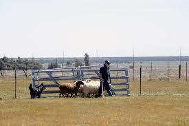 belgian sheepdog herding photos belgian sheepdog club of america