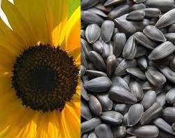 sunflower seed etsy