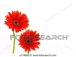 gerbera colors stock photo of two objects flowers green flower gerbera
