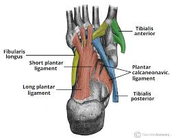 Foot Surface Anatomy The Arches Of The Foot Longitudinal Transverse Teachmeanatomy