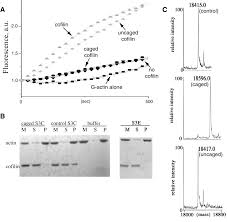 cofilin promotes actin polymerization and defines the direction of