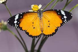 the plain tiger butterfly stock illustration illustration of coat