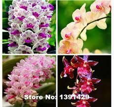 cymbidium orchid 100pcs mixed colors cymbidium orchid cymbidiums seeds