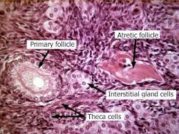 Cat Photo Album Ovary Histology Ovary Cat Labels Histology Slide