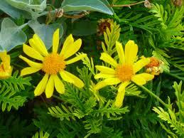 the daisy like bush euryops are 4 u2013 top ten heat resistant