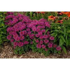Flower Balm - proven winners pardon my purple bee balm monarda live plant