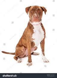 pitbull halloween background pretty female pit bull dog wearing stock photo 122652364