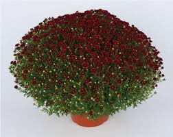 Picture Of Mums The Flowers - what u0027s new garden mums for 2018 2019 season syngenta flowers