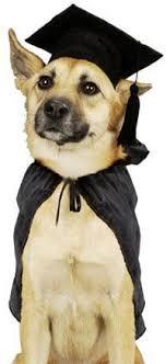 dog graduation cap and gown de 87 bästa dogs graduation day bilderna på