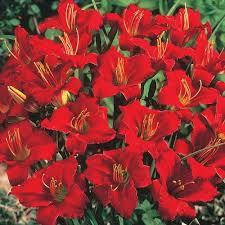 reblooming daylilies business reblooming daylily brecks