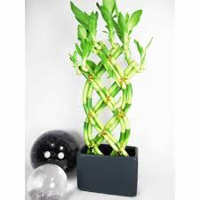 lucky bamboo plants decoration bamboo plant home u offices
