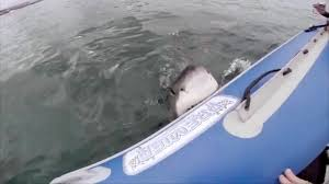 katharine the great white shark is swimming toward texas nbc news