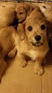 belgian sheepdog nc asheboro nc dachshund meet mary u0027s puppies a dog for adoption