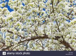a profusion of white blossoms cover the branches of a crab apple