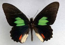 source of shimmering butterfly wing colors revealed