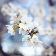 cherry blossoms in washington dc 2015