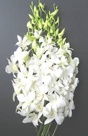 dendrobium orchid fresh flowers just orchids white dendrobium fresh