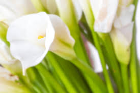 white calla lilies calla flower meaning flower meaning