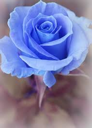 blue roses photograph mysterious by the of marilyn ridoutt