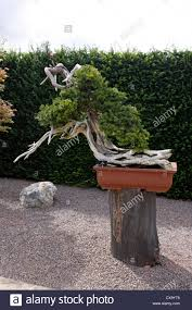 bonsai is the ancient japanese art of growing trees or woody