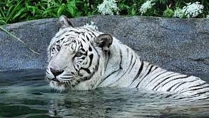 white tiger diagnosed with cancer dies at zoo ctv