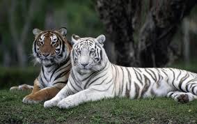 evolution the white tiger