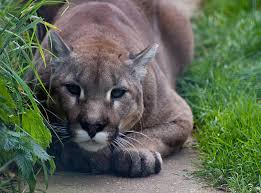 Michigan wild animals images Wildlife officials confirm cougar sighting in michigan 39 s lower jpg