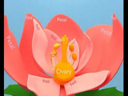 Lotus Flower Parts - what are the parts of a flower animation youtube