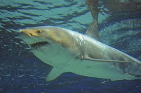 japanese aquarium great white shark dies after three days in okinawa aquarium the
