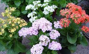 Design For Indoor Flowering Plants Ideas Best Flowering Indoor Plants