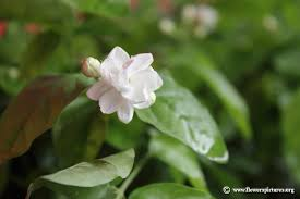Jasmine Flowers Jasmine Flower Picture 29
