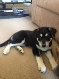 resume template accounting australian kelpie dog temperament by breed alaskan malador alaskan malamute and labrador mix tail
