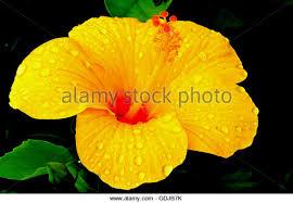 Yellow Hibiscus Flowers - indian hibiscus flowers stock photos u0026 indian hibiscus flowers